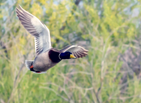 Photograph - Mallard Duck by Tam Ryan