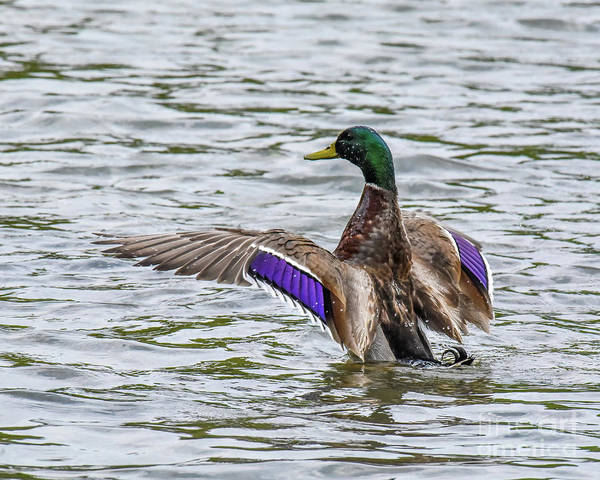 Photograph - Mallard Duck With Wings Spread Out by Cynthia Staley