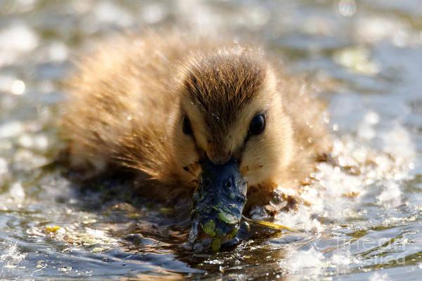 Photograph - Mallard Duckling by Sue Harper