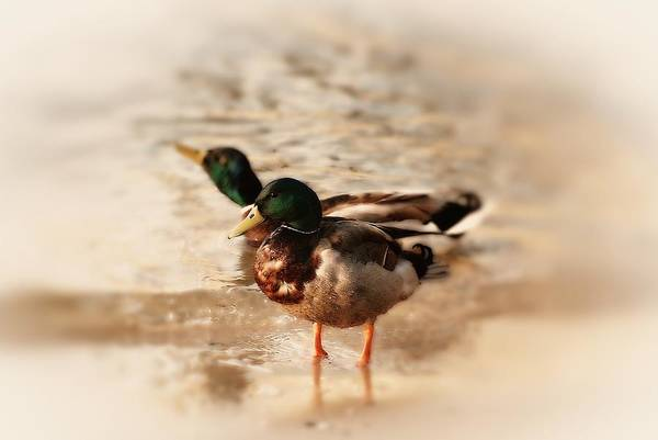 Photograph - Mallard Ducks by Angie Tirado