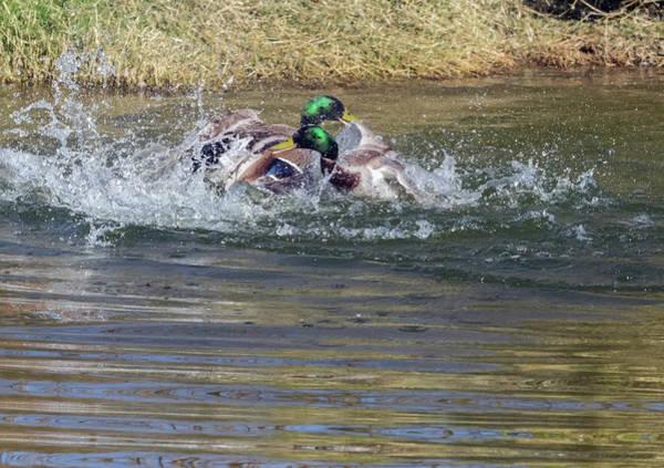 Photograph - Mallard Ducks Fight 0659-022718-1cr by Tam Ryan