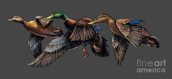 Mallard Ducks In Flight Art Print