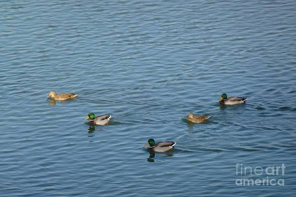 Photograph - Mallard Ducks In Pond by Jean Bernard Roussilhe