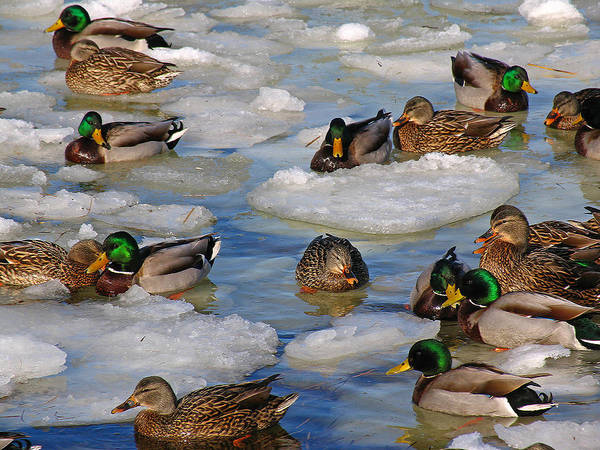 Photograph - Mallard Ducks by Juergen Roth