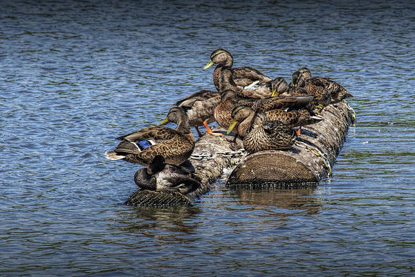 Photograph - Mallard Ducks Sitting On Floating Logs by Randall Nyhof