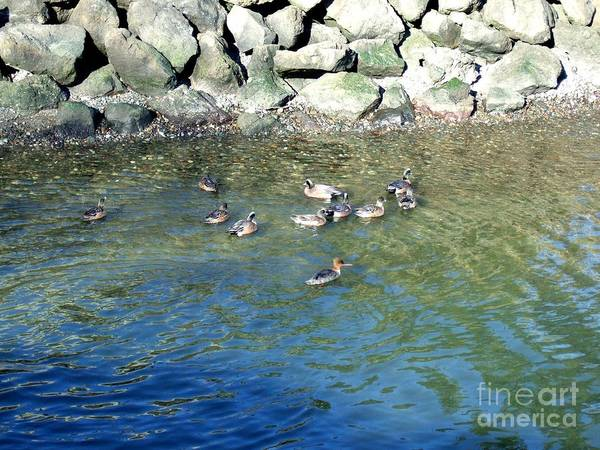 Photograph - Mallard Ducks Swimming In Port Angeles Harbor  by Delores Malcomson