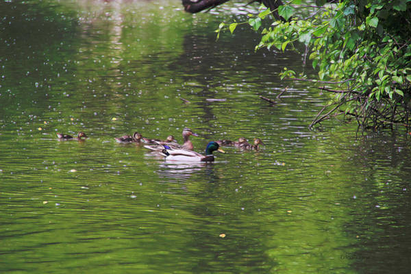 Photograph - Mallard Family by Ericamaxine Price
