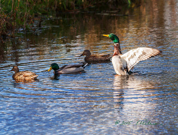 Photograph - Mallard Flap by Edward Peterson