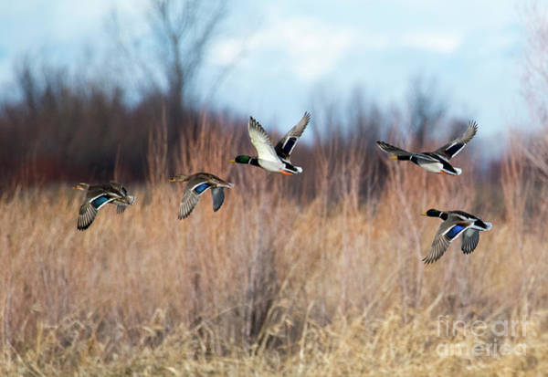 Waterfowl Wall Art - Photograph - Mallard Flight by Mike Dawson