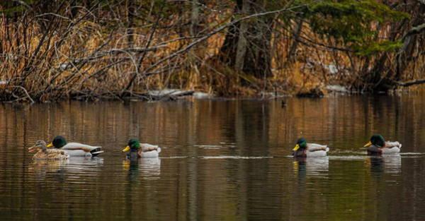 Greenhead Photograph - Mallard Greenheads And Hen by Dale Kauzlaric