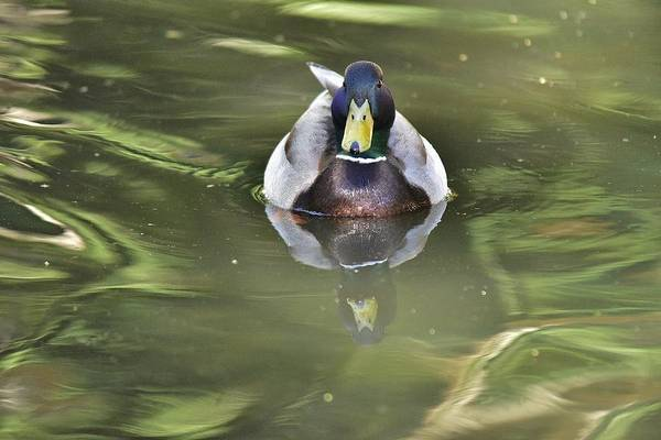 Wall Art - Photograph - Mallard I  by Linda Brody