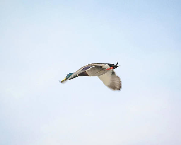 Photograph - Mallard In Motion by Jason Coward