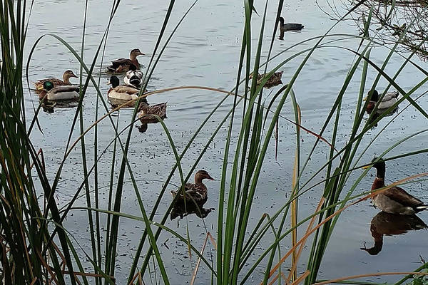 Photograph - Mallard Migration by Steve Sperry