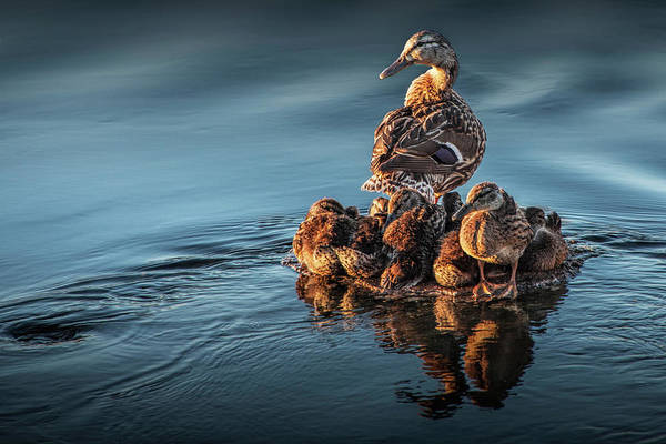 Photograph - Mallard Mother Hen Standing Guard Over Her Ducklings by Randall Nyhof