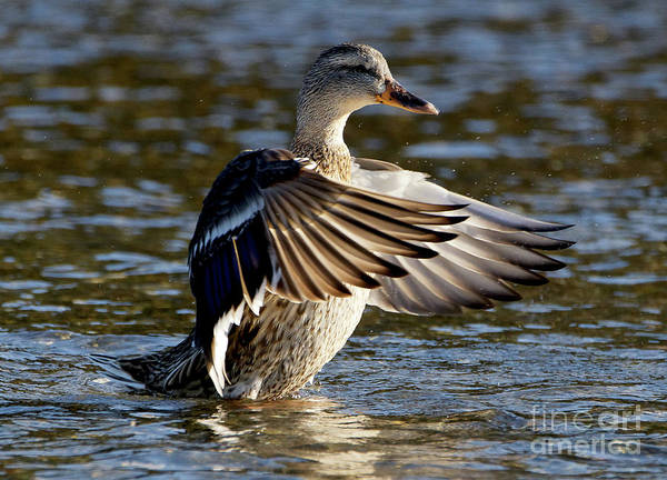 Photograph - Mallard Motion by Sue Harper