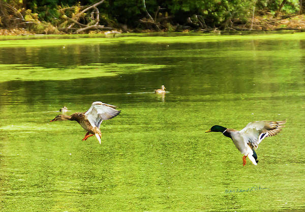 Photograph - Mallard Pair Landing by Edward Peterson