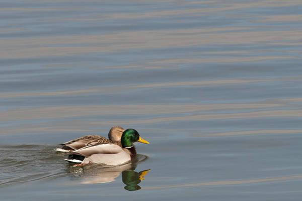 Photograph - Mallard Pair by Robert Potts