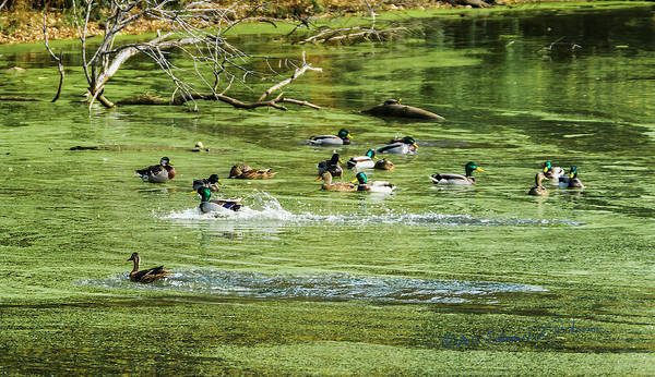 Photograph - Mallard Pool by Edward Peterson