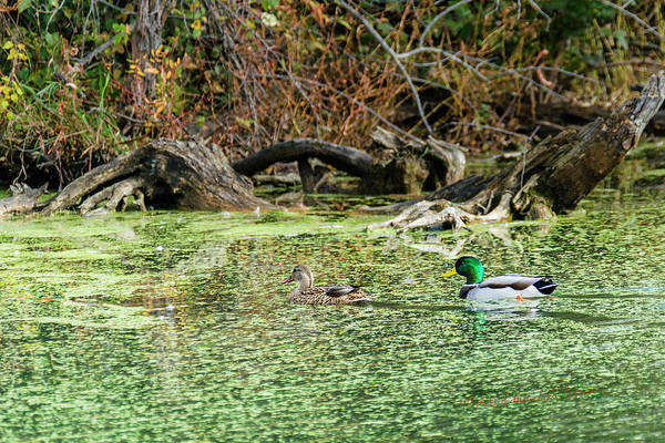 Photograph - Mallard Swim by Edward Peterson