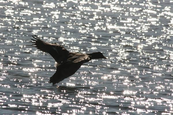 Photograph - Mallard Twilight Landing by David Dunham