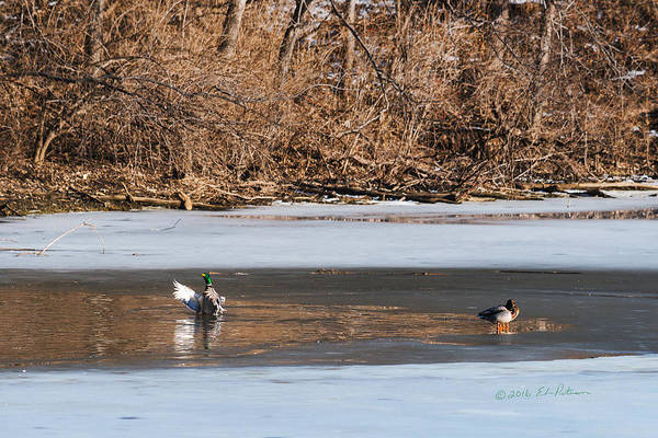 Photograph - Mallard Winter Break by Edward Peterson