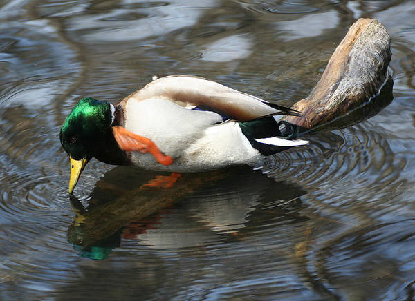 Photograph - Mallard With An Itch by William Selander
