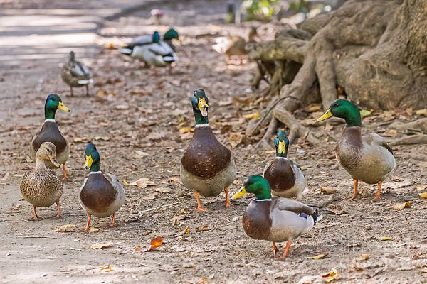 Photograph - Mallards And Rouens by Kate Brown