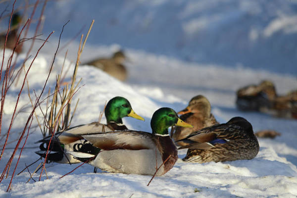 Wall Art - Photograph - Mallards At Rest by Whispering Peaks Photography