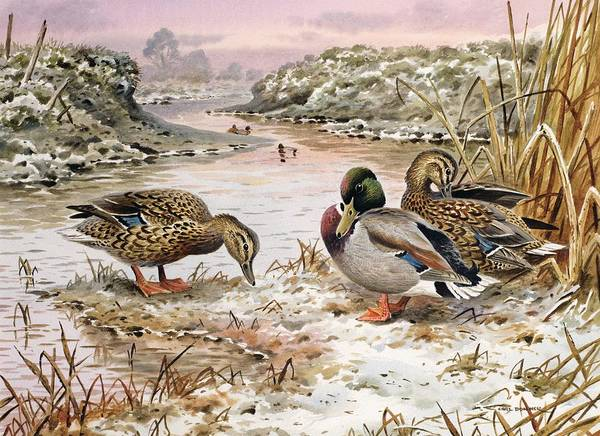 Riverbank Painting - Mallards In A Quiet Corner by Carl Donner
