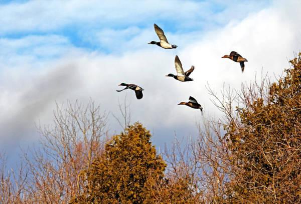 Greenhead Photograph - Mallards In Flight by Debbie Oppermann