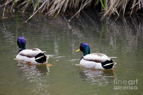 Photograph - Mallards In Stream 2 by Donna L Munro