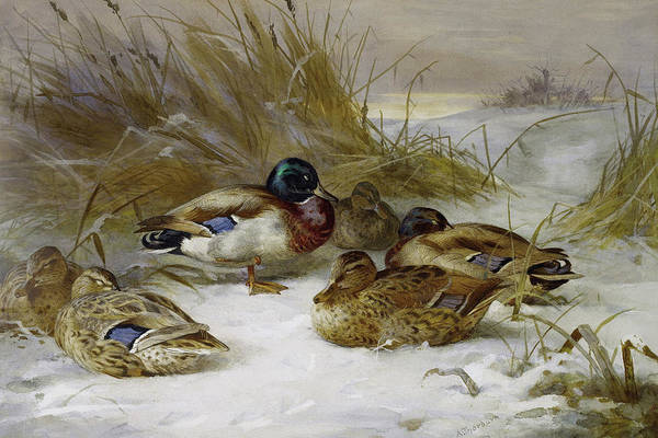Mixed Media - Mallards In The Winter Landscape By Thorburn by Archibald Thorburn