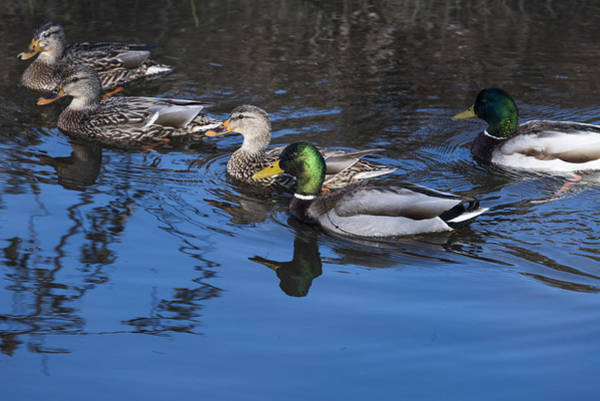 Photograph - Mallards by Robert Potts