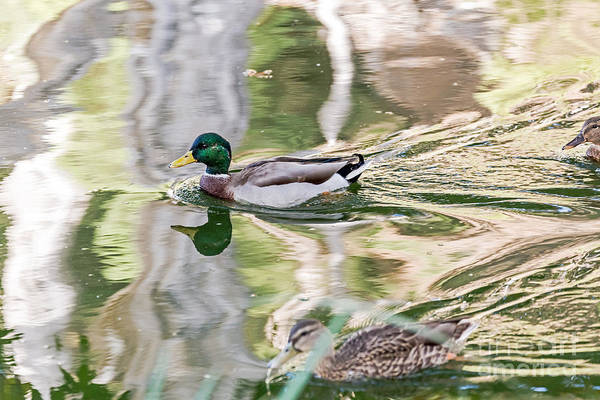 Photograph - Mallards Three by Kate Brown