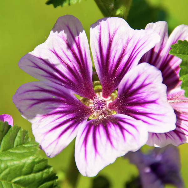 Photograph - Mallow 5746 by Guy Whiteley