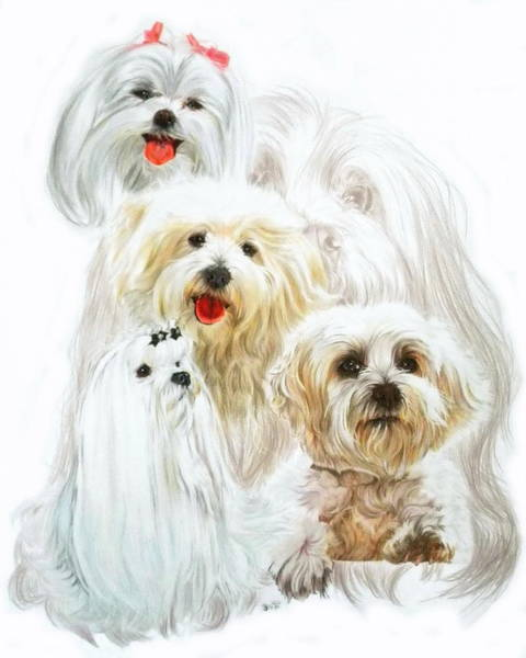 Mixed Media - Maltese Companion by Barbara Keith