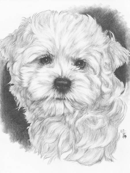 Mutt Drawing - Malti-chon by Barbara Keith