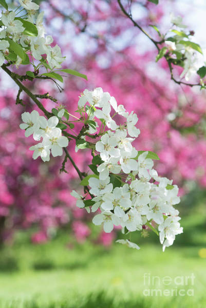 Malus Photograph - Malus Lady Northcliffe by Tim Gainey