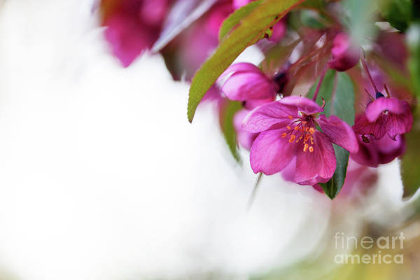 Wall Art - Photograph - Malus Purpurea by Kati Finell