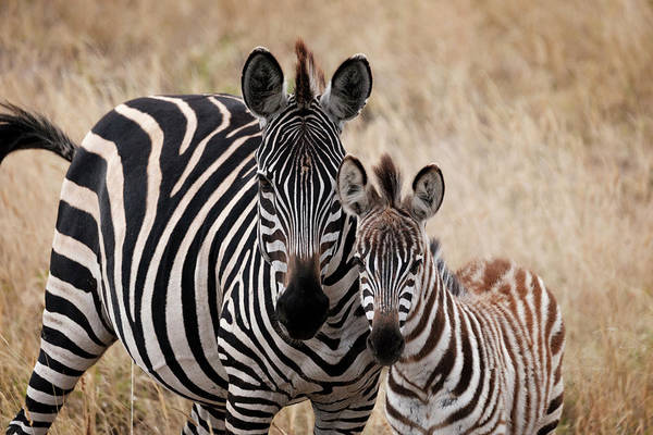 Photograph - Mama And Baby Zebra by Mary Lee Dereske