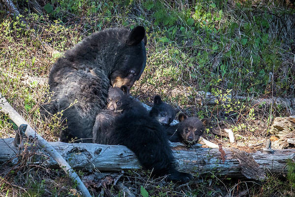Wall Art - Photograph - Mama And Cubs by Paul Freidlund