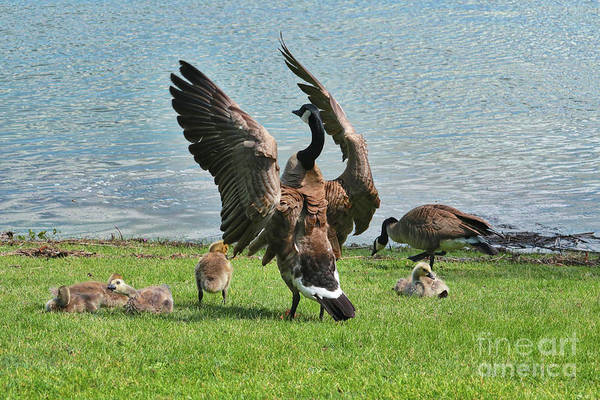 Mother Goose Photograph - Mama And Papa Goose With Goslings by Carol Groenen