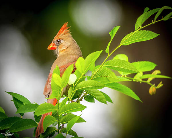 Photograph - Mama Cardinal In A Tree by Philip Rispin