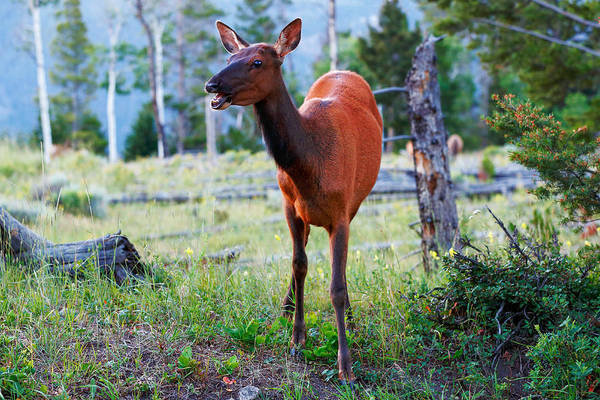 Photograph - Mama Elk by Todd Klassy