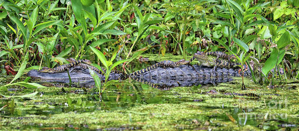 Photograph - Mama Gator With Babies by Carol Groenen