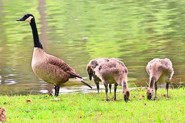 Photograph - Mama Goose And Her Gosling  by Lisa Wooten