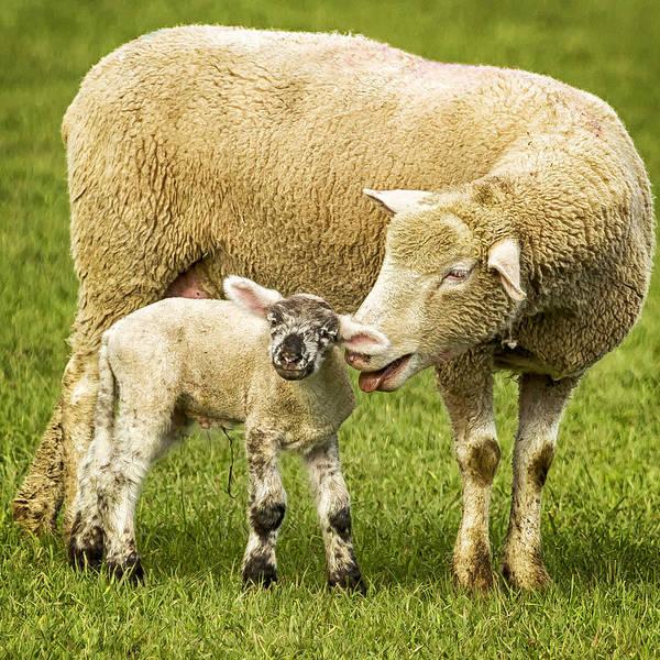 Photograph - Mama Had A Little Lamb by Belinda Greb