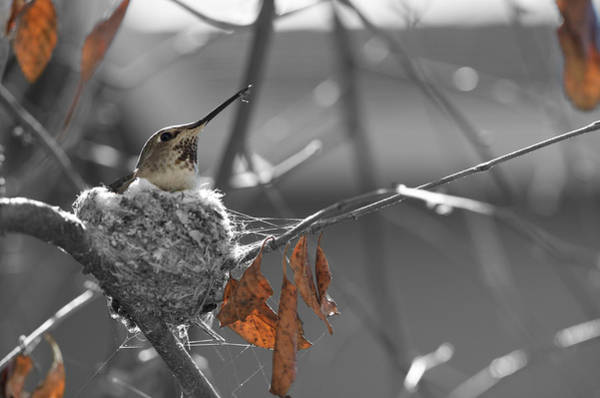 Photograph - Mama Hummingbird by Spencer Hughes