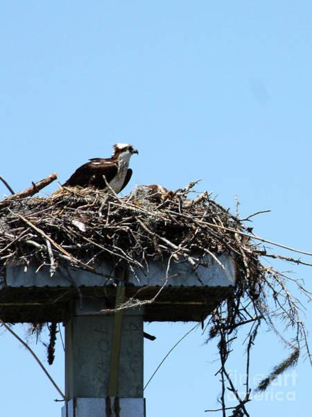 Photograph - Mama Osprey by Rick Locke