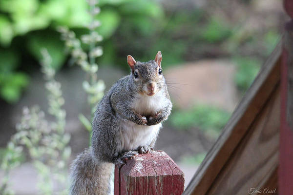 Photograph - Mama Squirrel by Trina Ansel